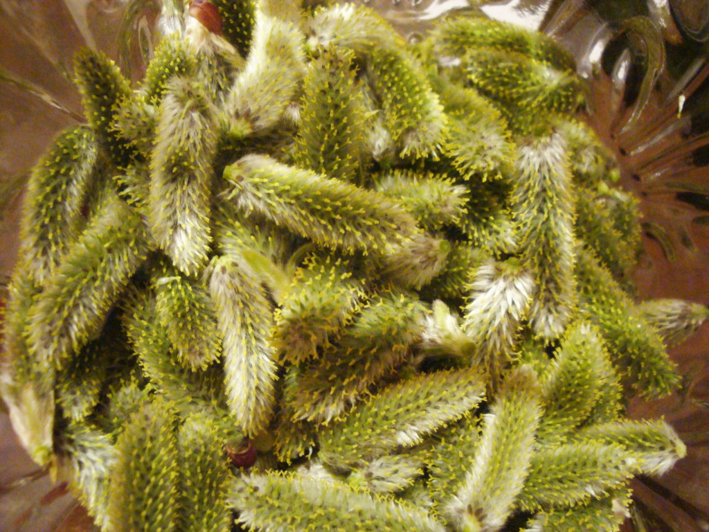Willow catkins for cordial.