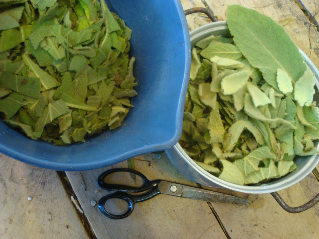 Mullein leaves chopped for natural dye.
